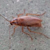 Kakkerlak