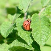 Coloradokever larve - origineel door Stephan Czuratis - wikimedia commons - CC BY-SA 2.5