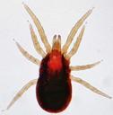 Rode vogelmijt - origineel door Daktaridudu - wikimedia commons - CC BY-SA 3.0