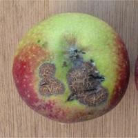 Schurft appel - origineel doro Rasbak - wikimedia commons - CC BY-SA 3.0